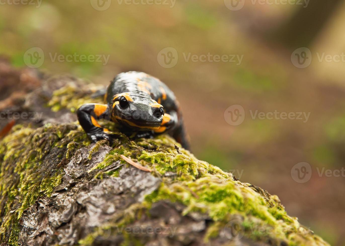 svartgul eldsalamander foto