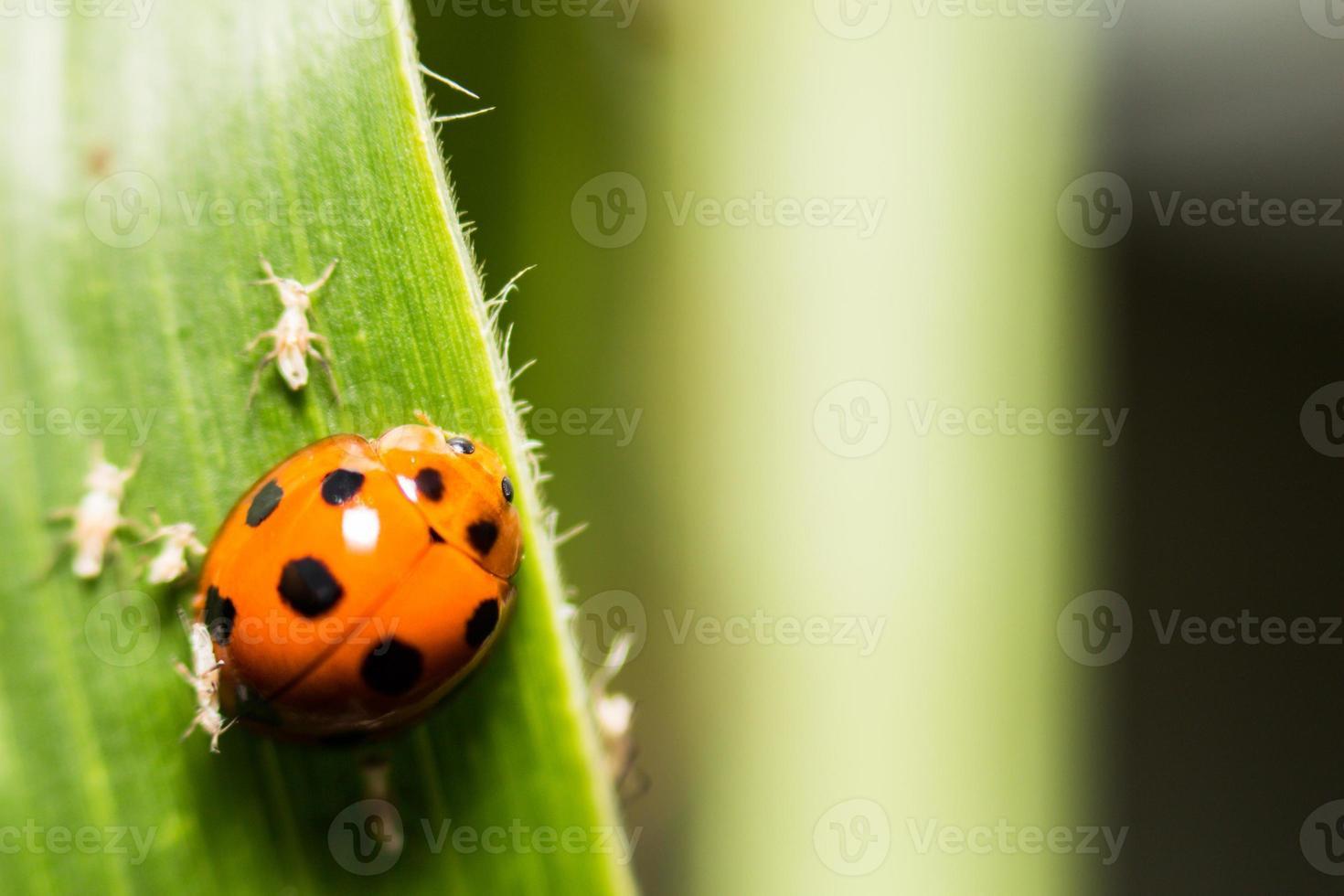 extra mjuk fokus nyckelpiga makro på grönt blad foto
