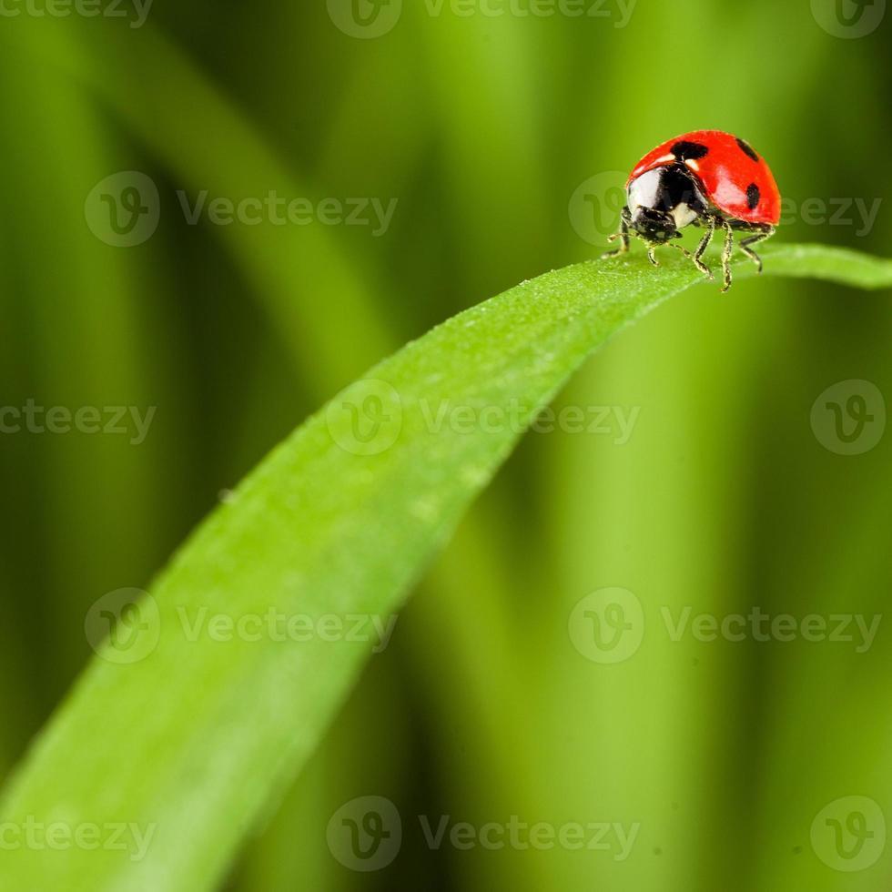 nyckelpiga på gräs över grön bachground foto