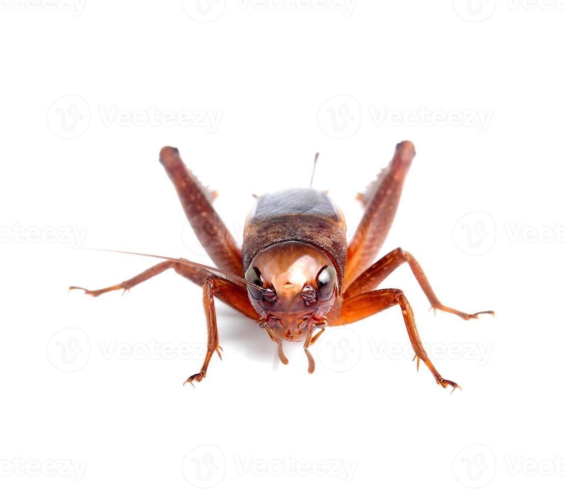 svart cricket isolerad på vit bakgrund foto