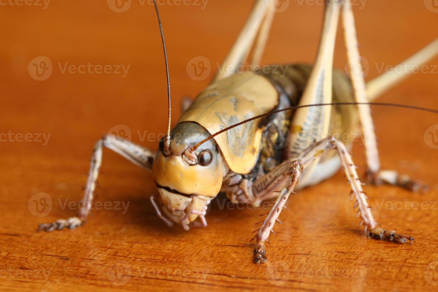 mormon cricket på lövved foto