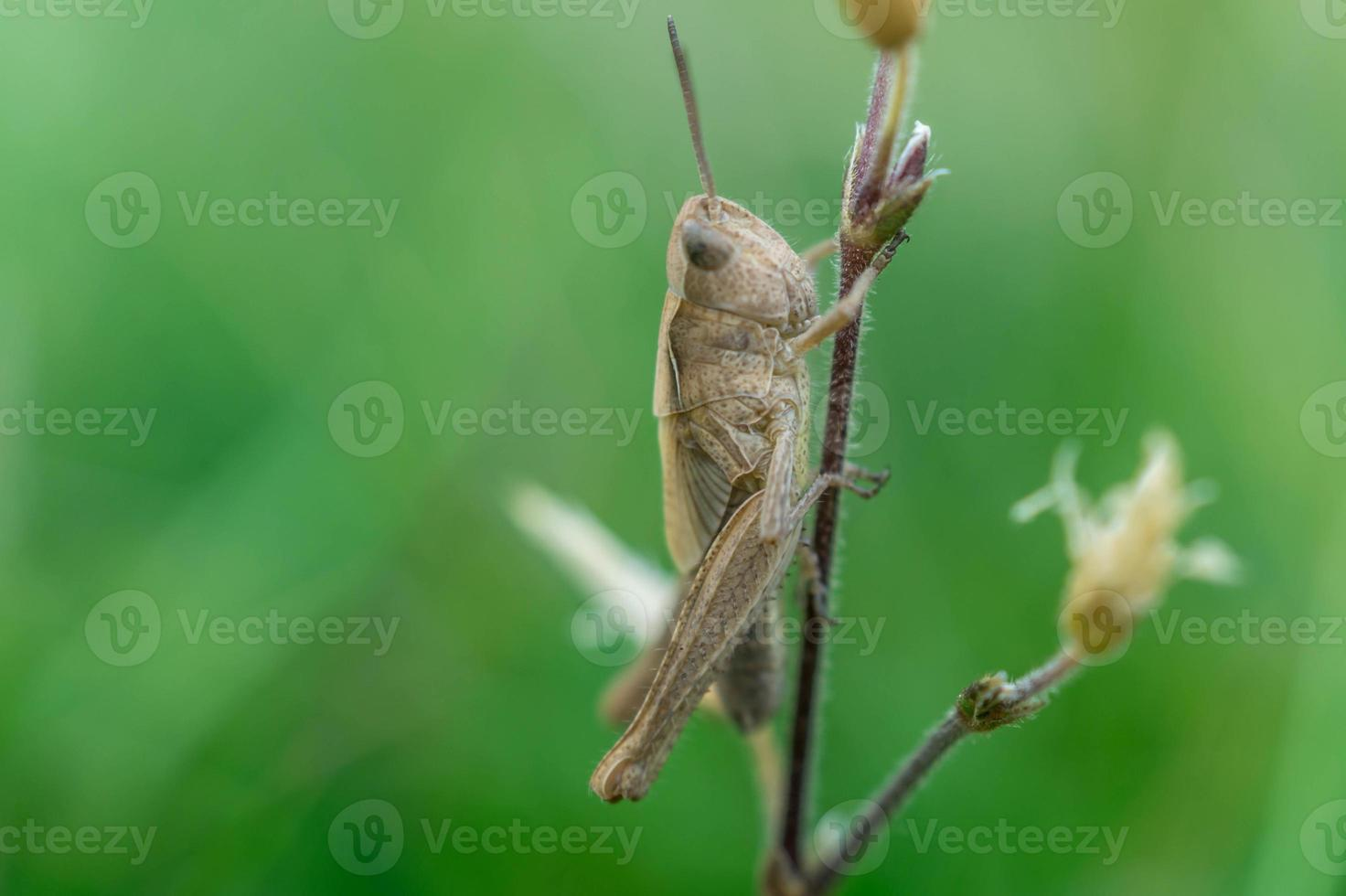 cricket klättrar en stam av en växt. foto