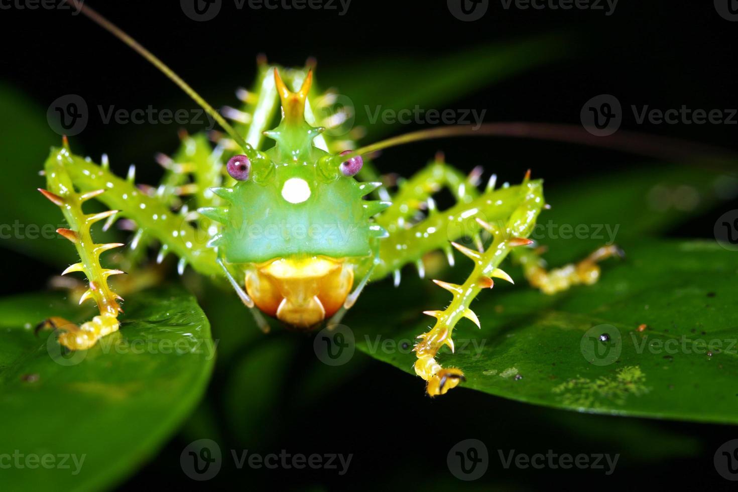rovad buskkricket (panacanthus cuspidatus) foto
