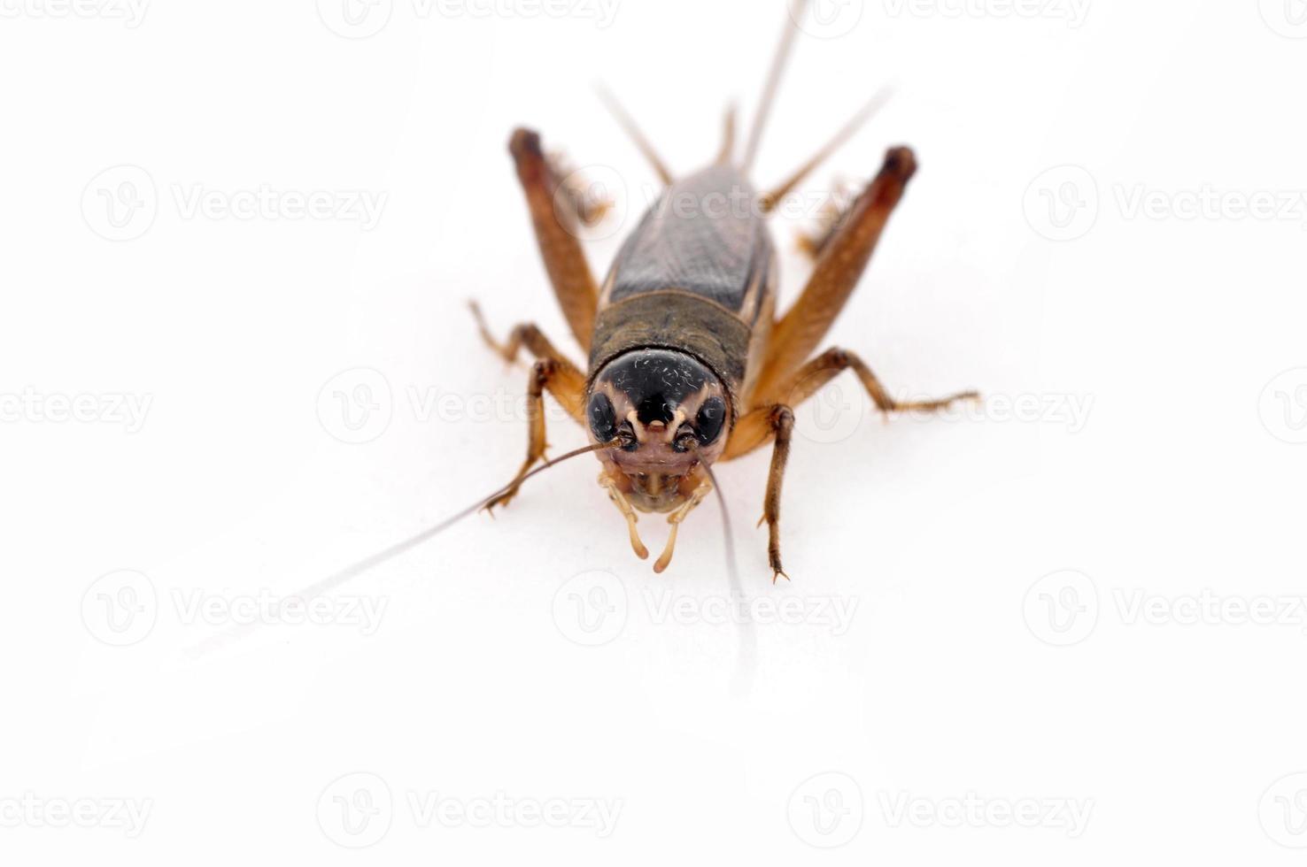 cricket på en vit bakgrund foto