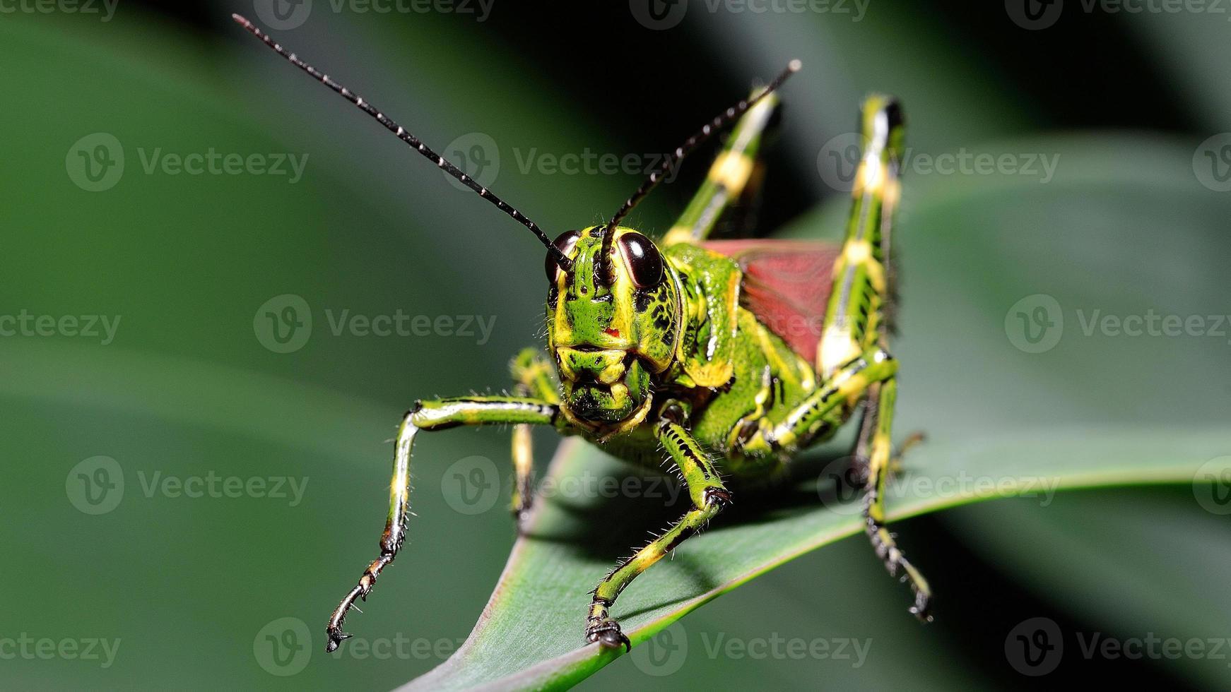 makro brasiliansk gräshoppa (frontal) foto