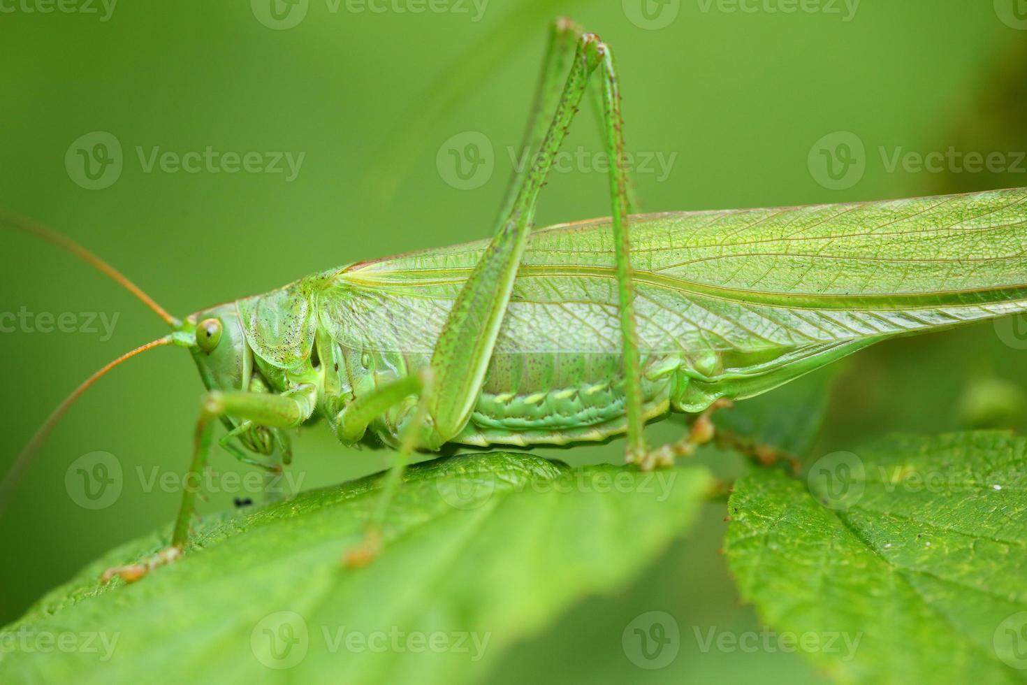 gräshoppa grön foto