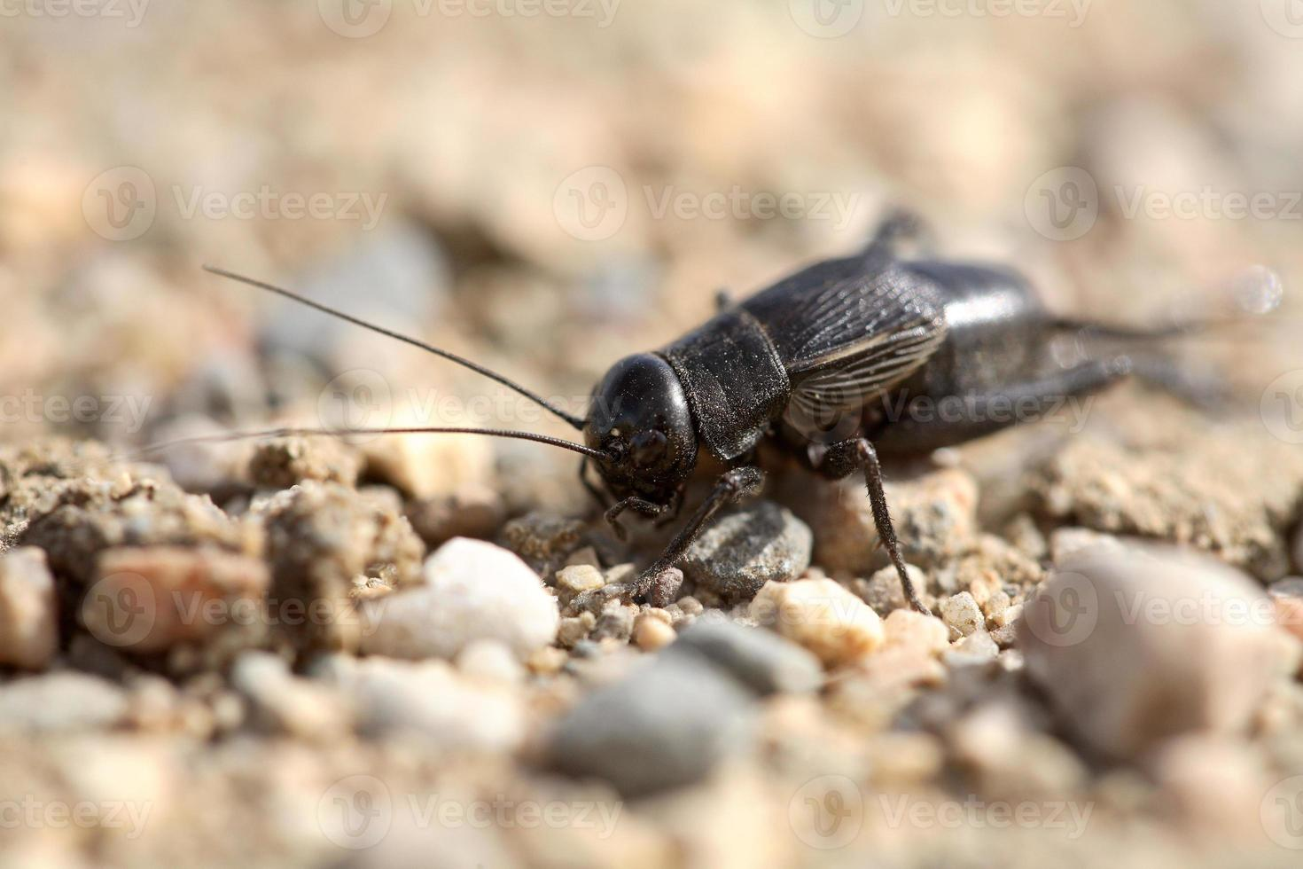 närbild av en cricket på en saskatchewan landsväg foto