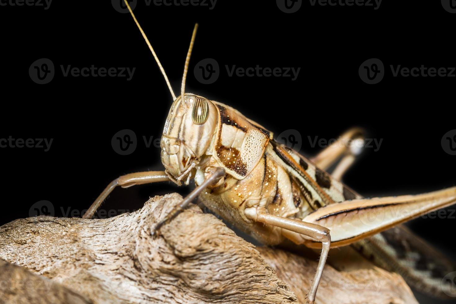 stor gräshoppa foto
