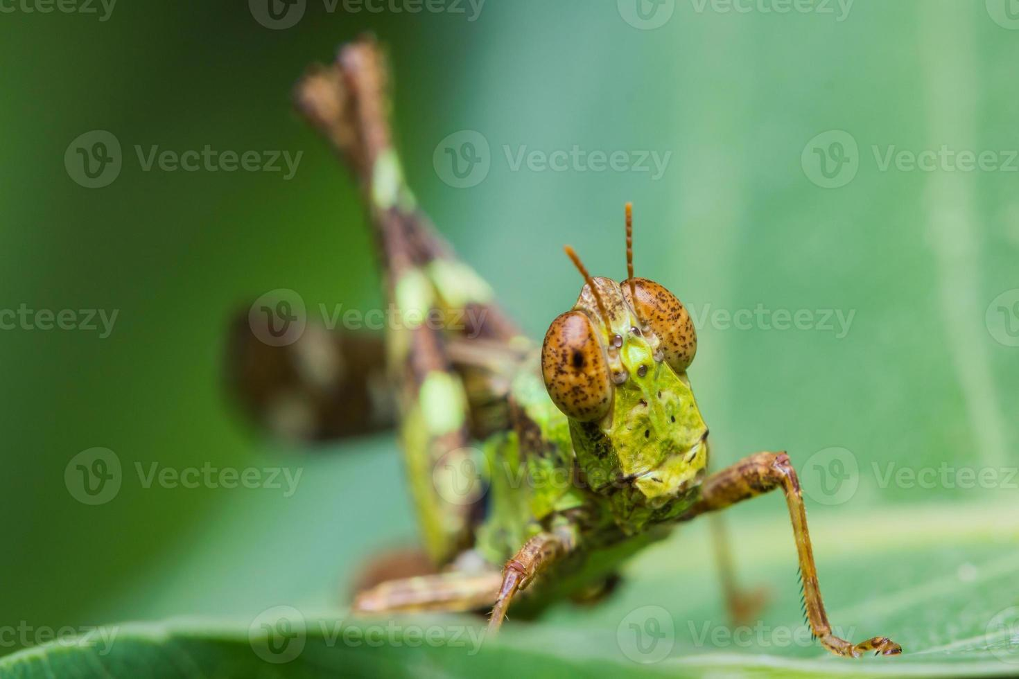 kort horn gräshoppa foto