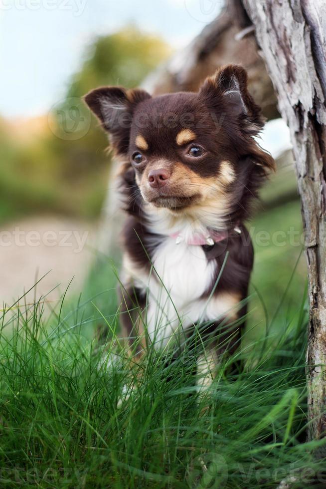 bedårande chihuahua hund utomhus på hösten foto