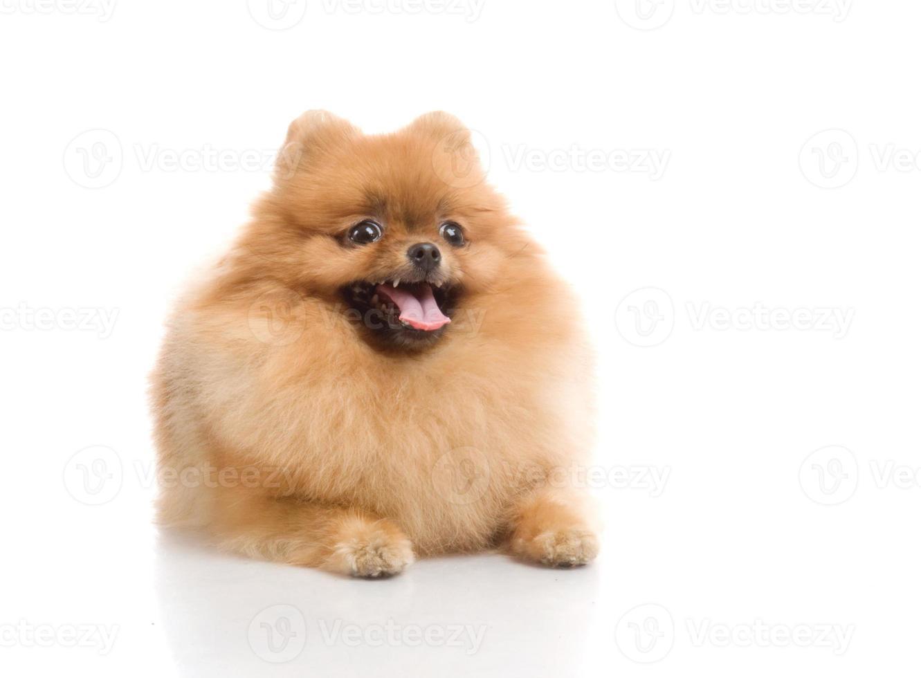 spitz, pomeranian hund i studio foto