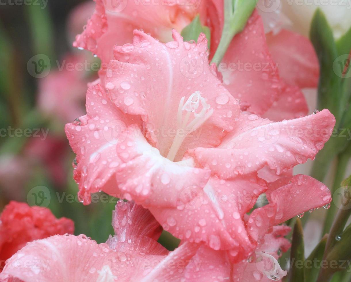 makro regndropp på blomma, gladiolusblomma foto