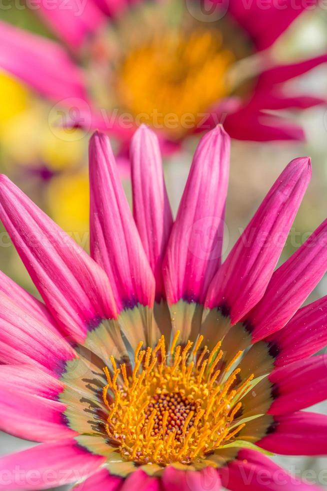 rosa tusensköna. foto