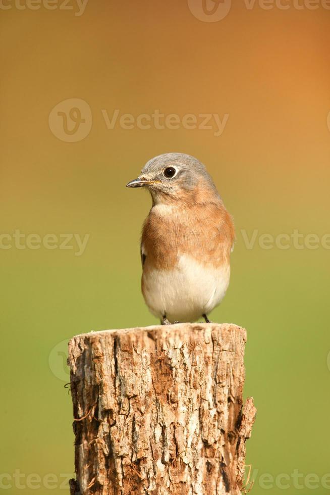 östra blåfågeln med negativt utrymme foto