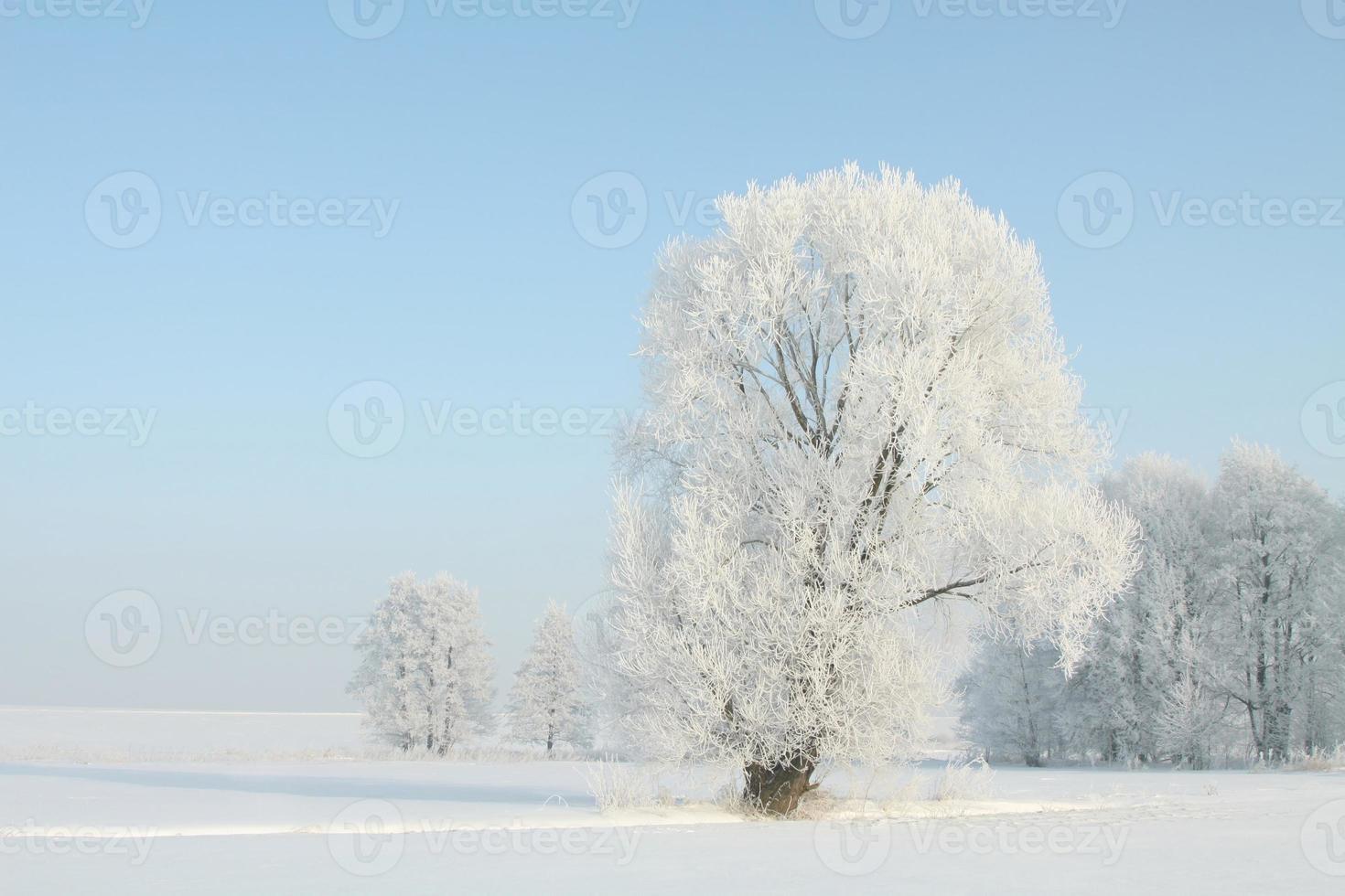 frostat träd i en molnfri morgon foto