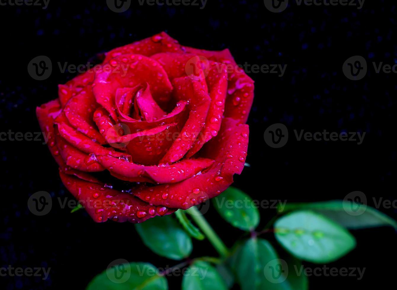 röd ros svart foto