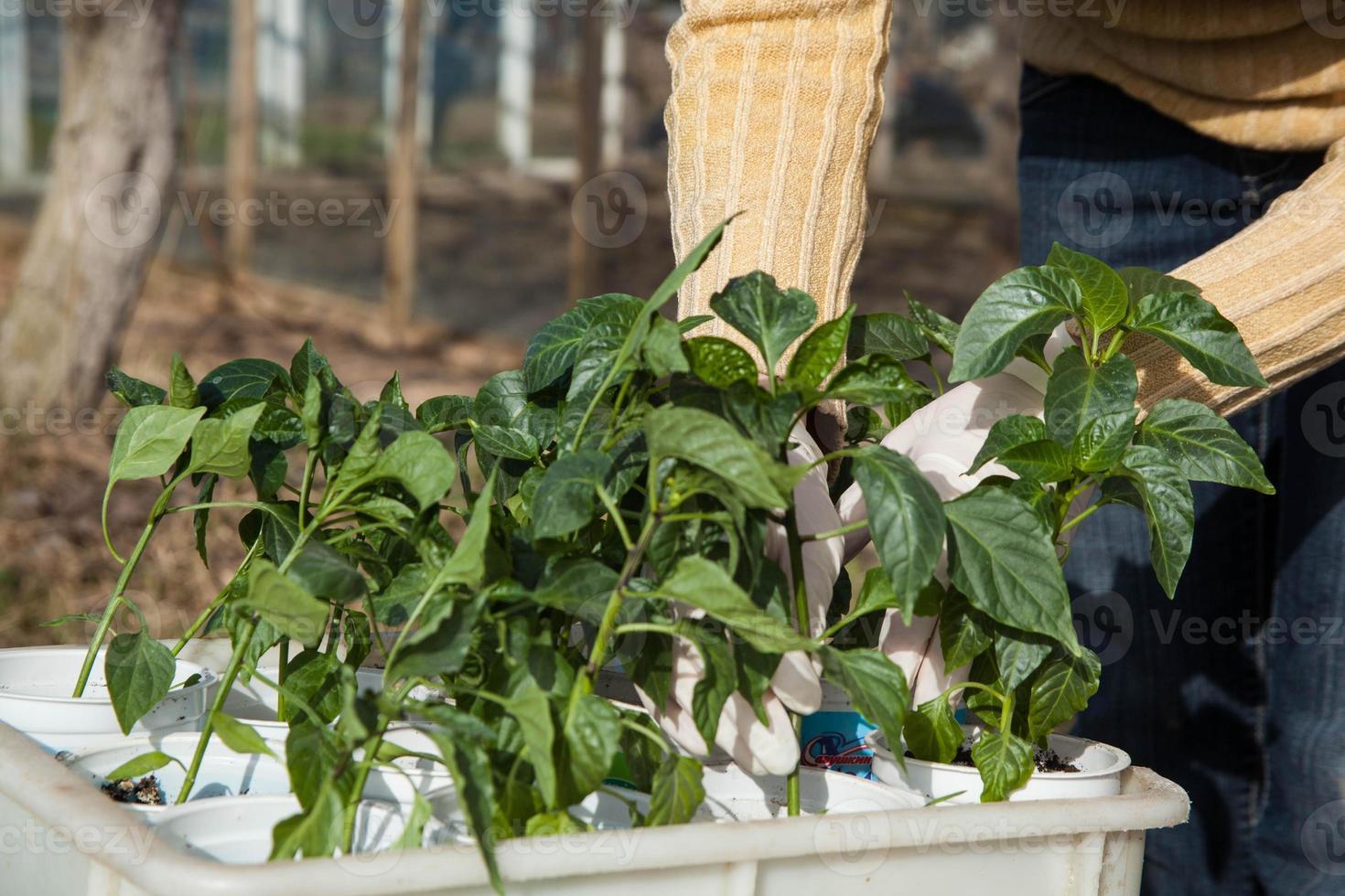 trädgårdsskötsel, plantering koncept foto