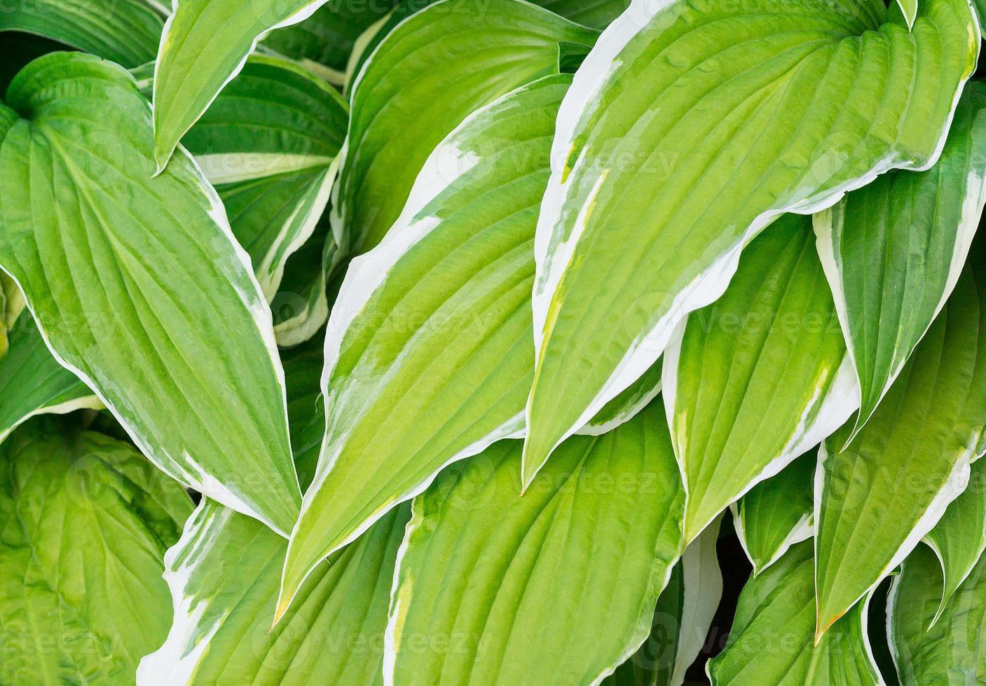 värd. växter foto