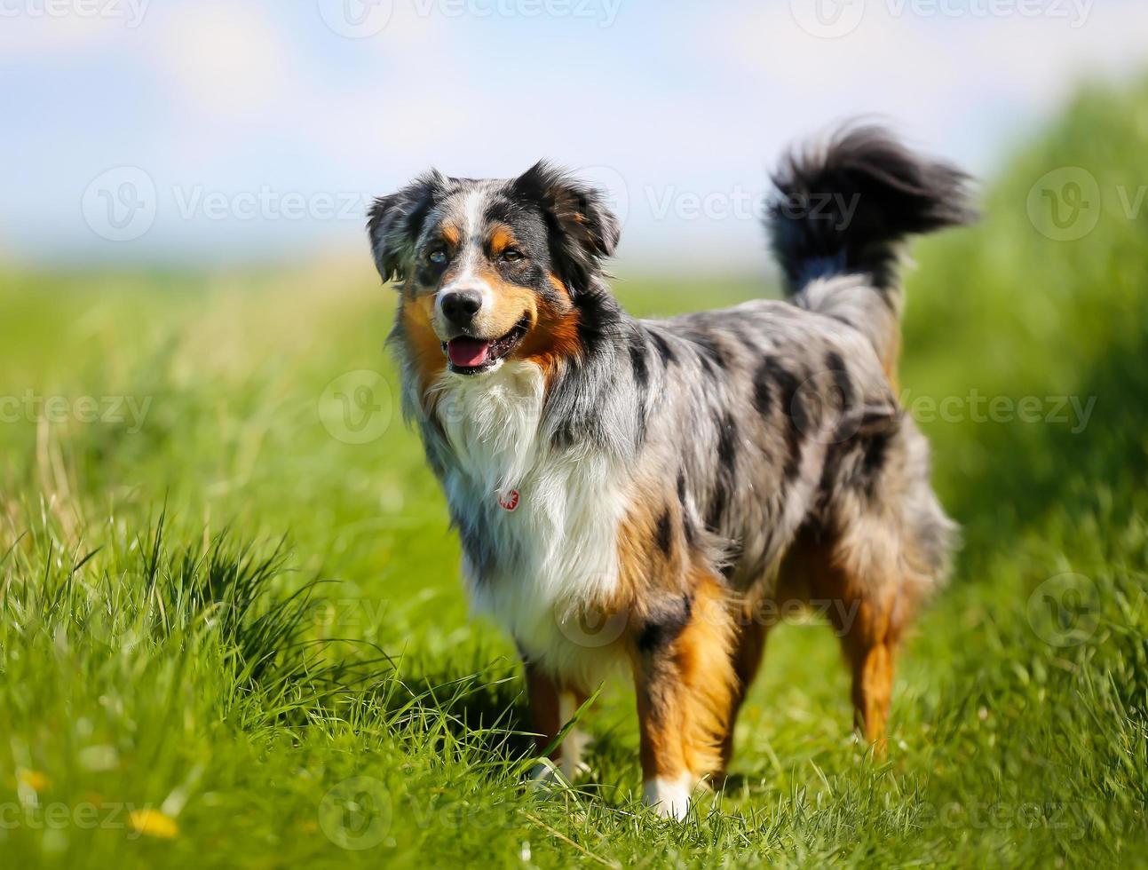 renrasig hund foto