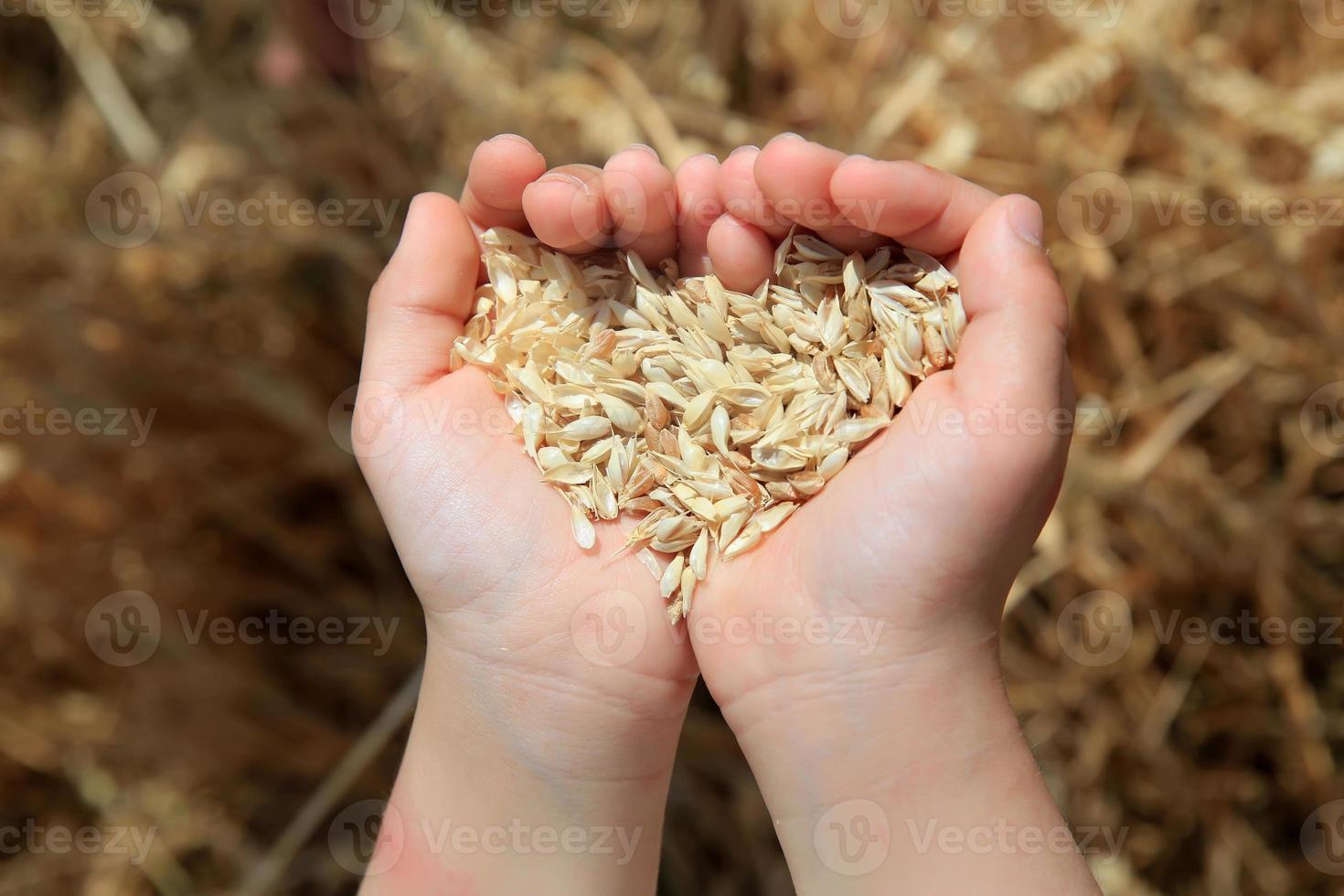 korn av vete i händerna på liten flicka foto