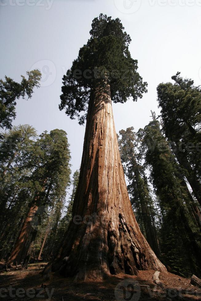 enormt träd foto