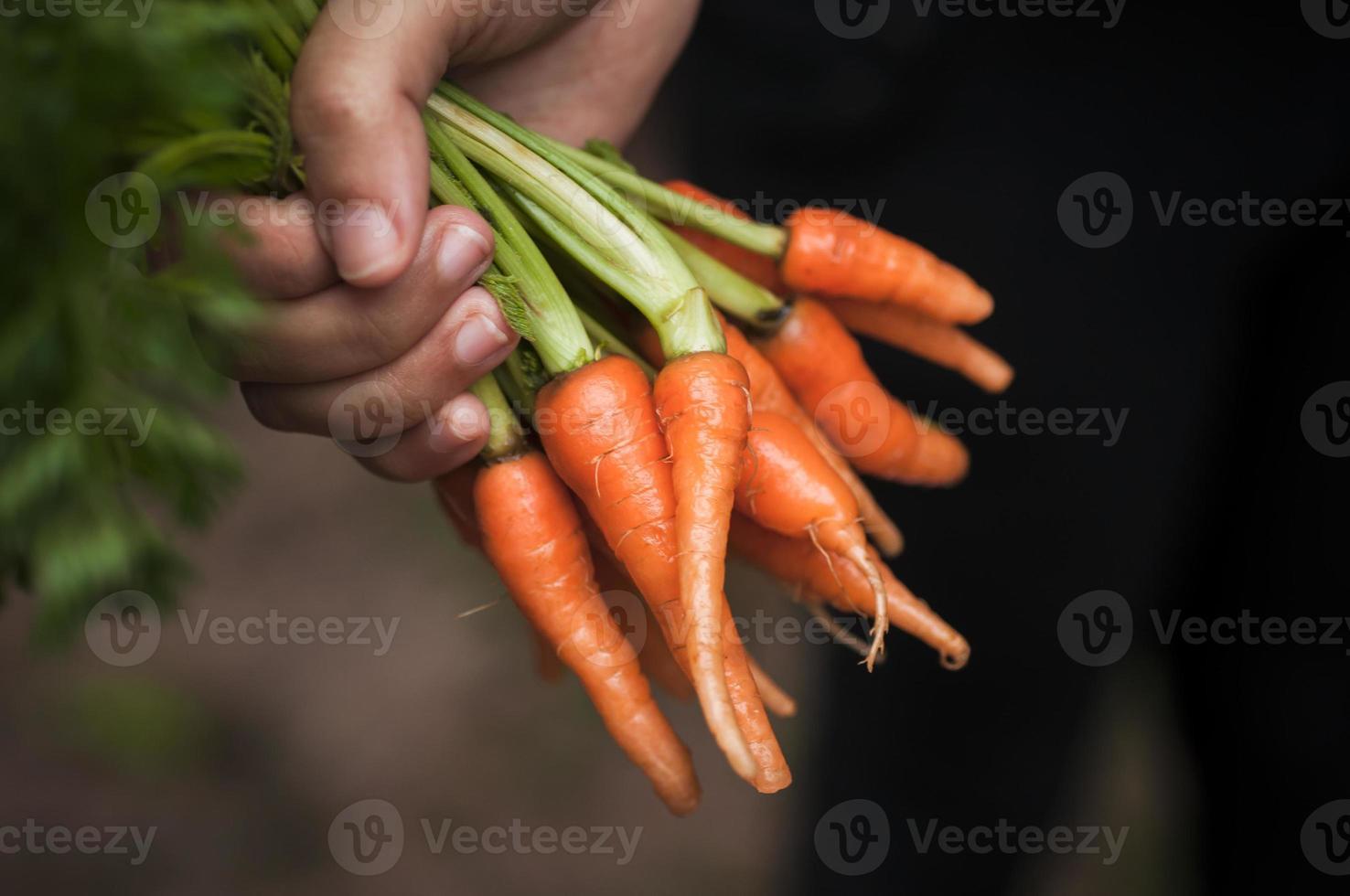 kvinna som erbjuder lilla morötter foto