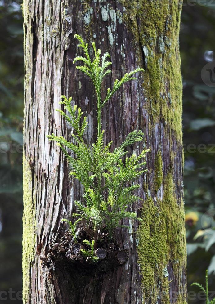 träd av cederträ foto