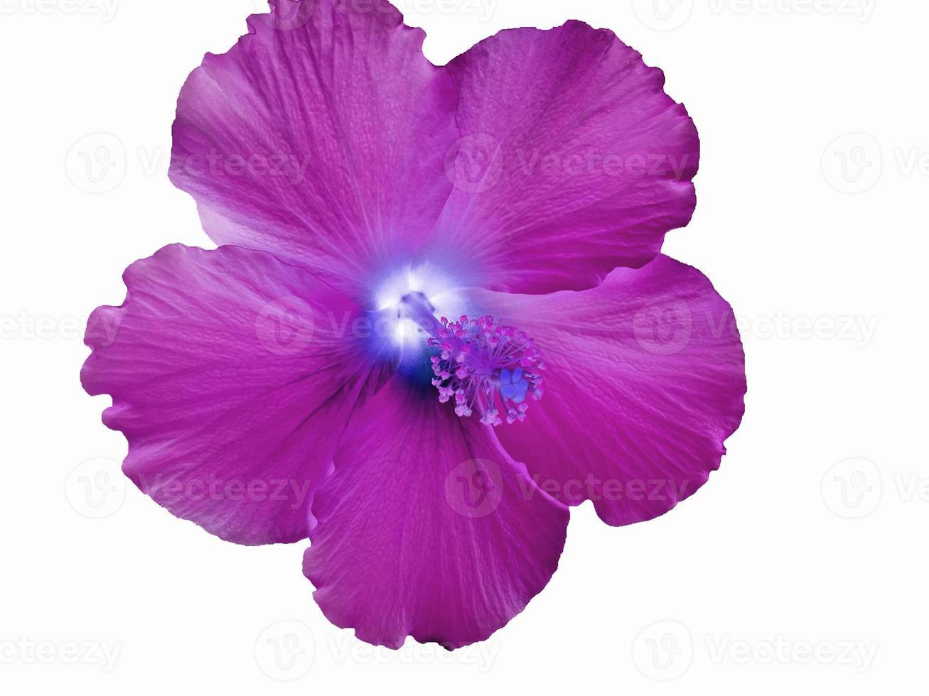 färgstark magenta hawaiiansk hibiskusblomma foto