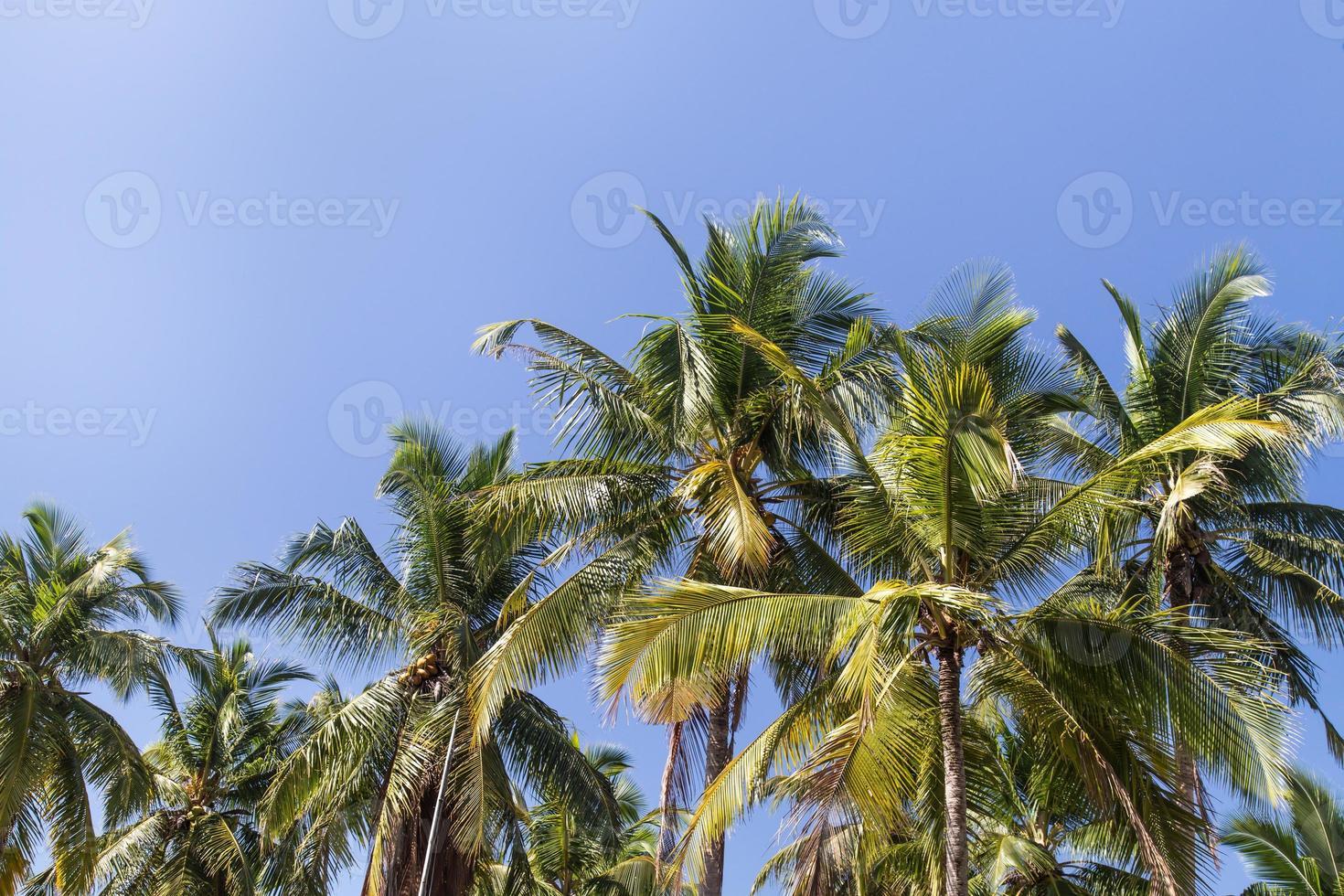 palmträd med kokosnöt under blå himmel foto
