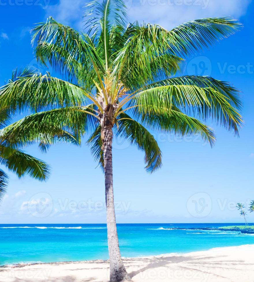 kokosnötpalmträd på sandstranden i Hawaii, Kauai foto