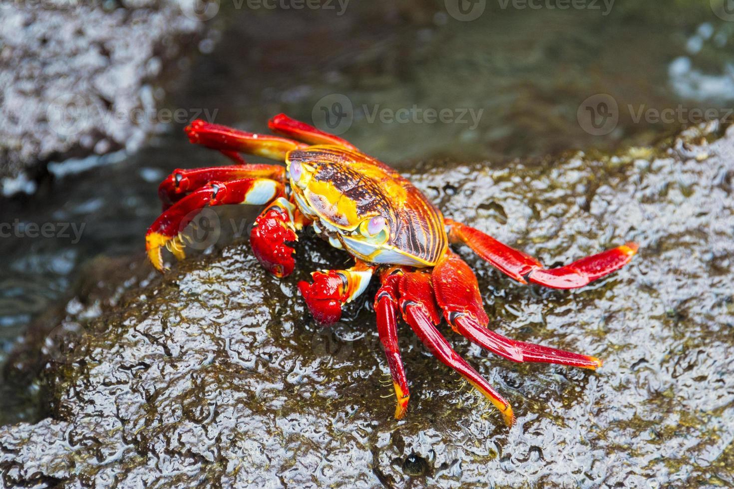 sally lightfoot krabba på galapagosöarna foto