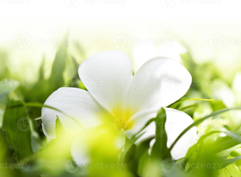 vit frangipani på gräs foto