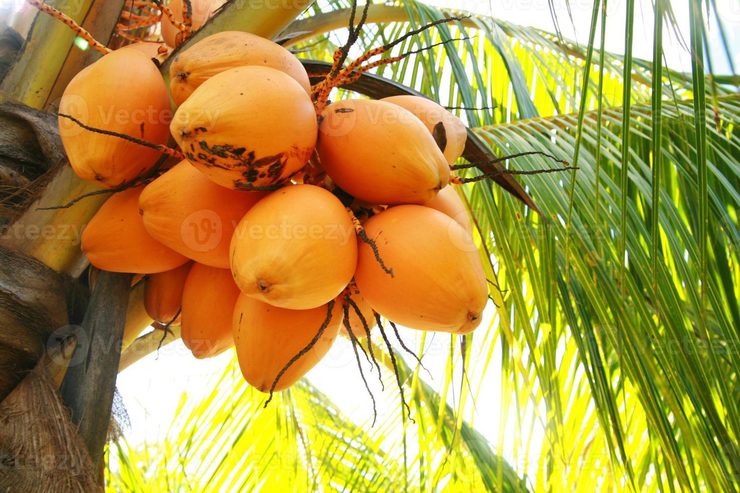 kokosnötter i palmträd foto