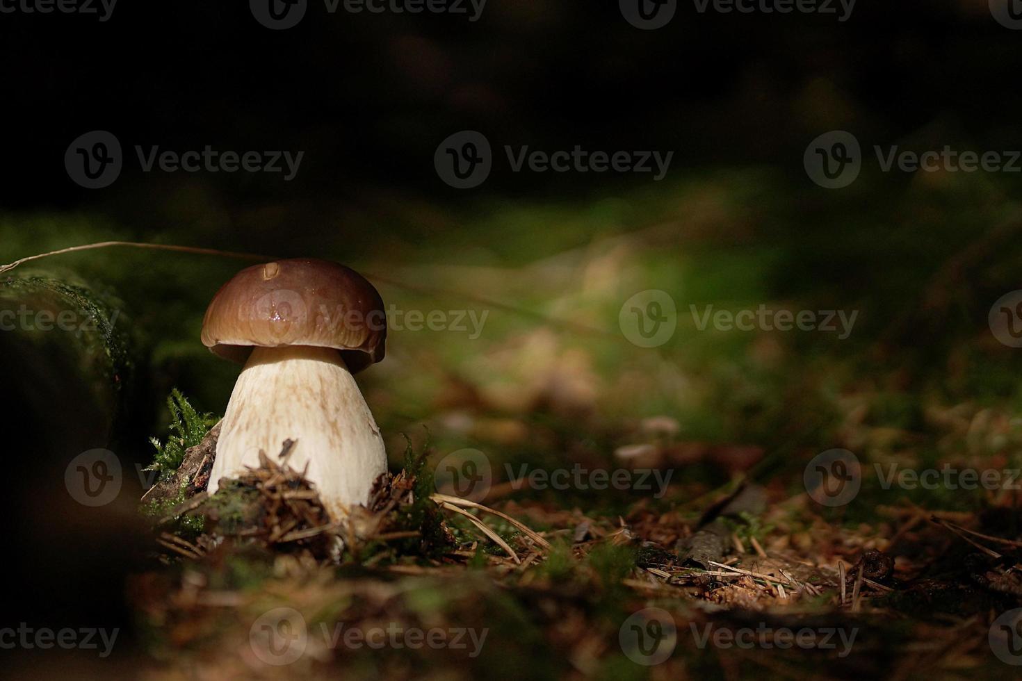cep i skogen foto