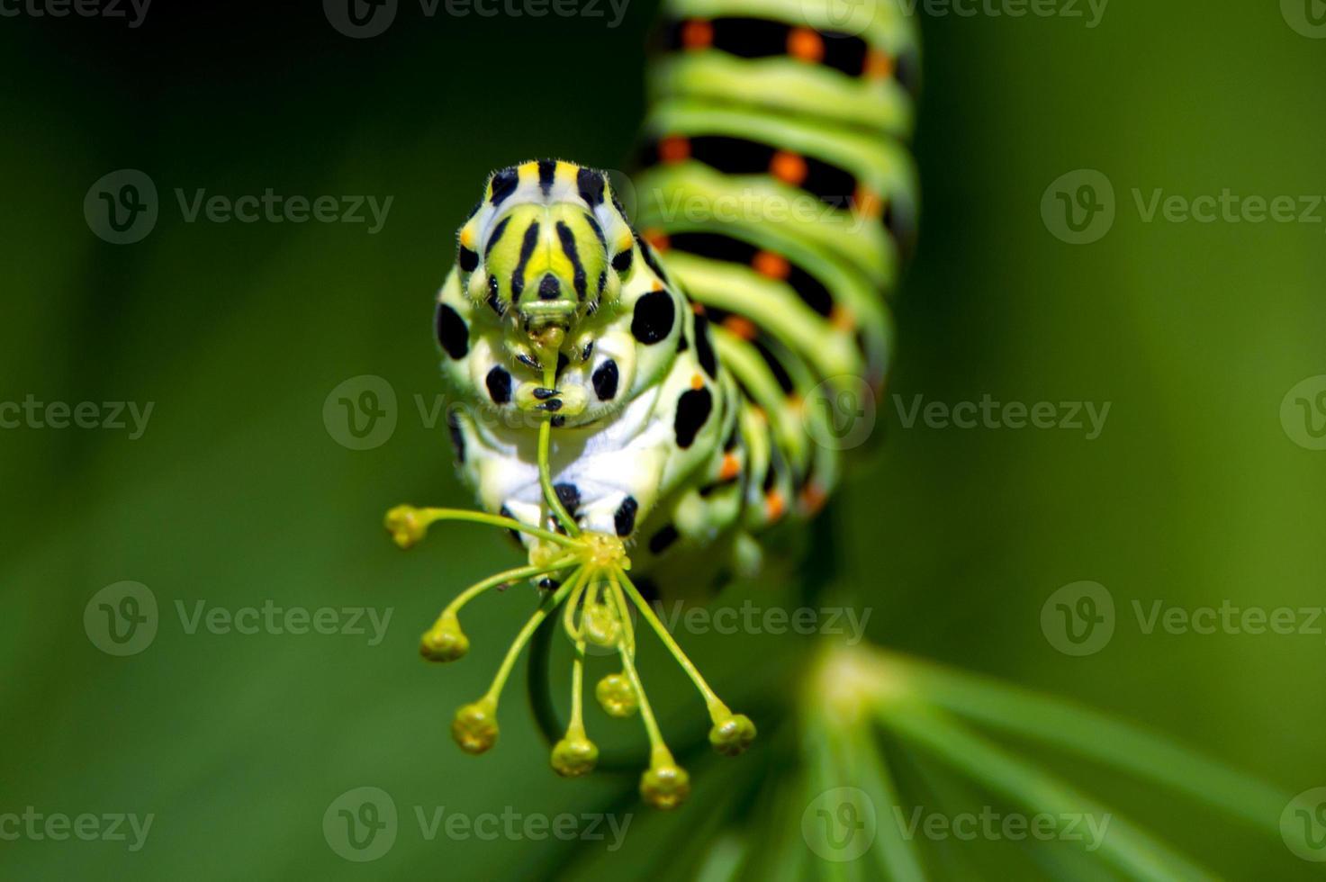 larv från den gamla världssvällstjärten (papilio machaon), en närbild foto