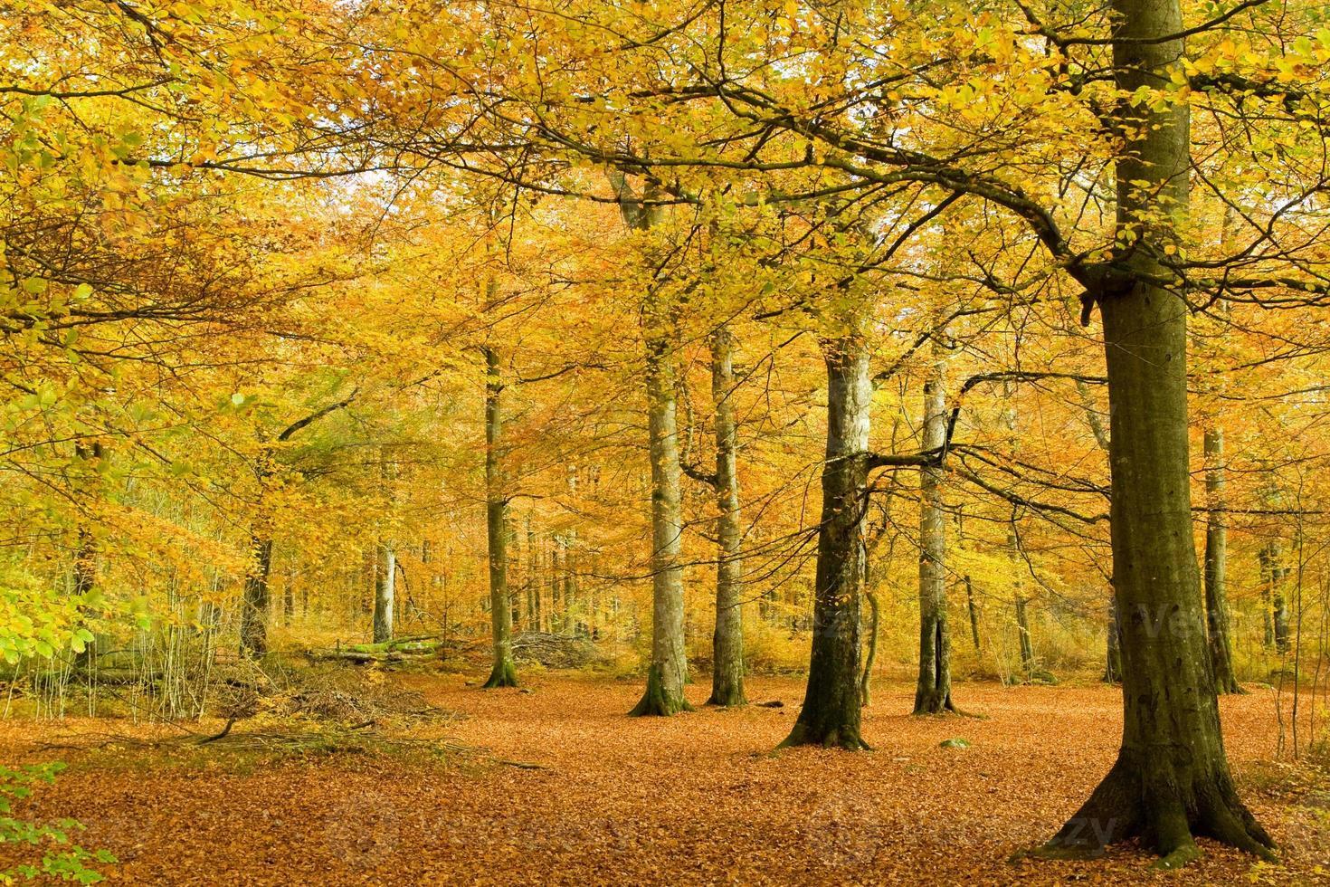 bokskog i gyllene bladverk foto