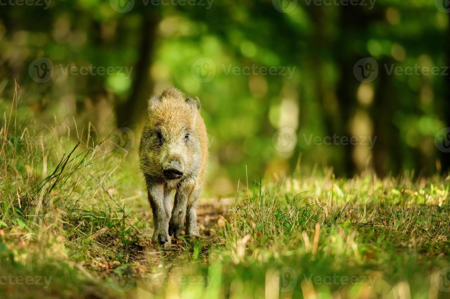 vildsvin i färgstark skog foto