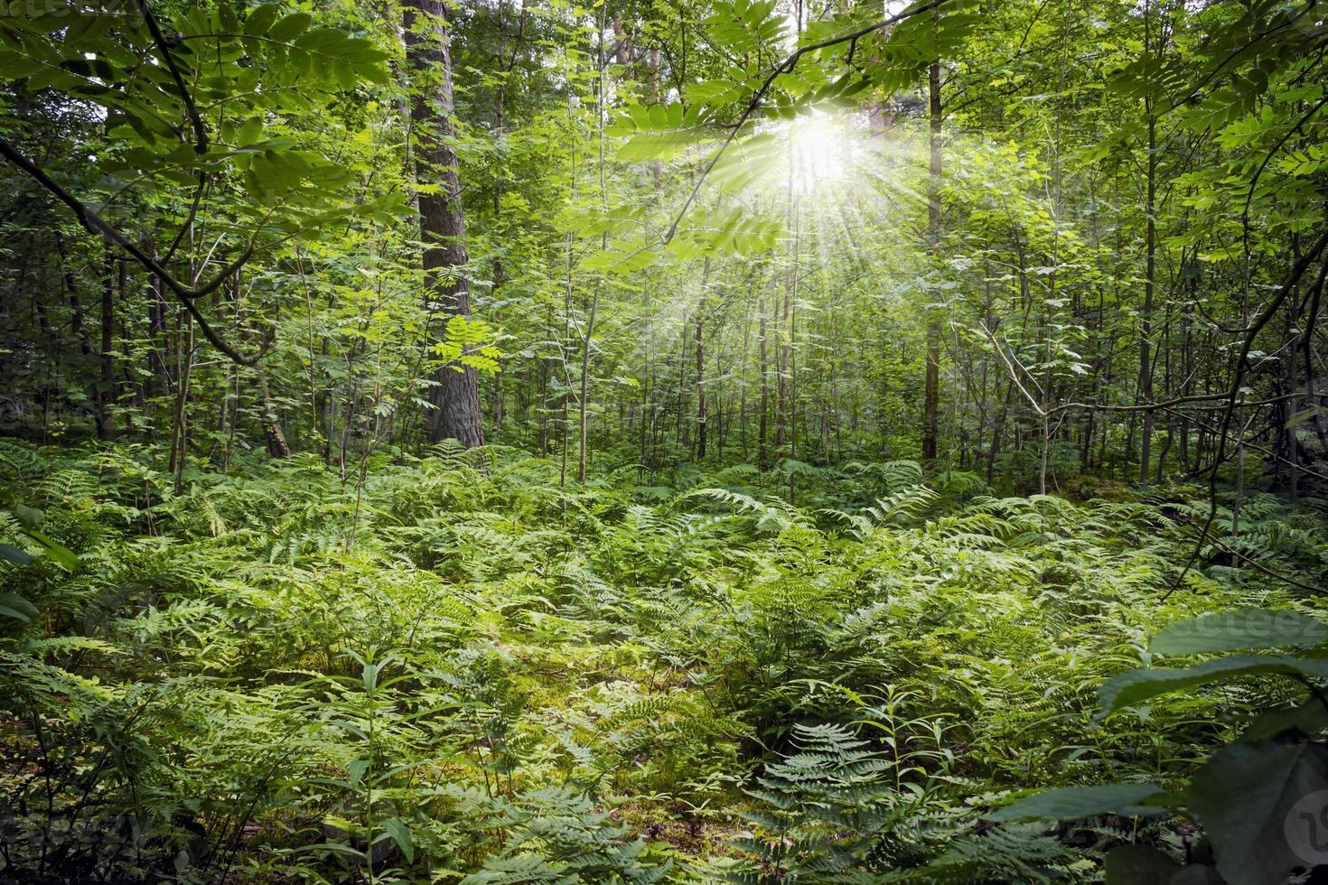 grön tjock skog med solstrålar som bryter igenom grenarna foto
