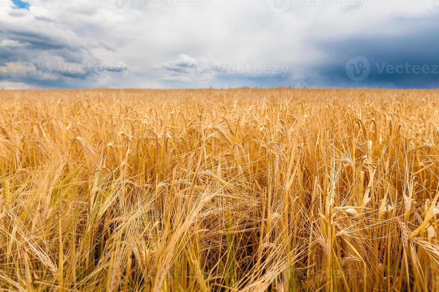 kornfält före stormen foto