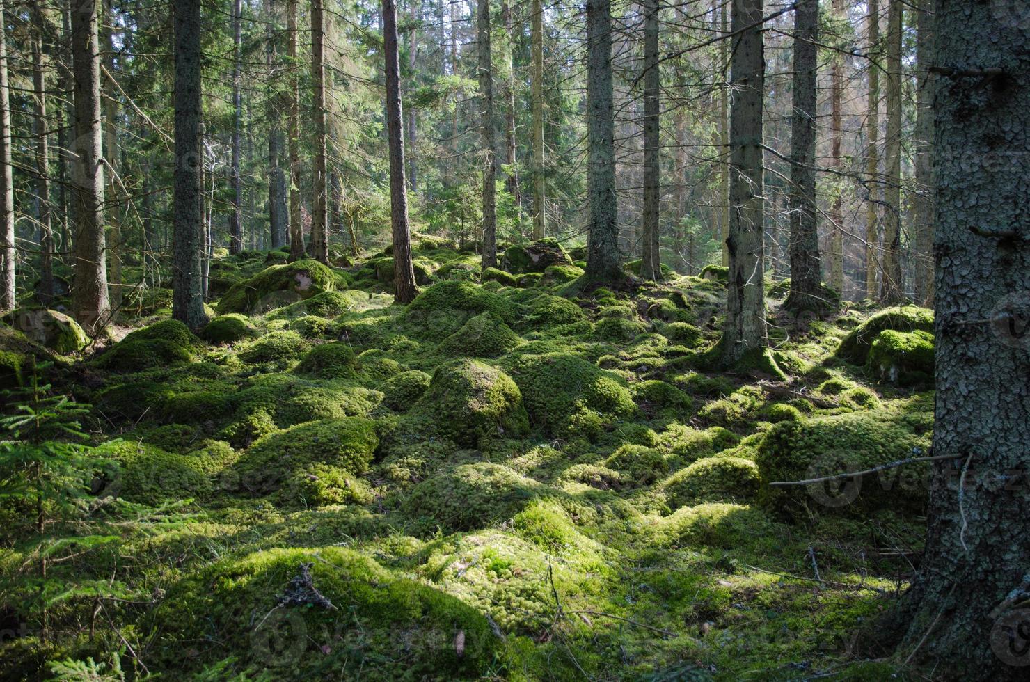 mossig grön skog foto