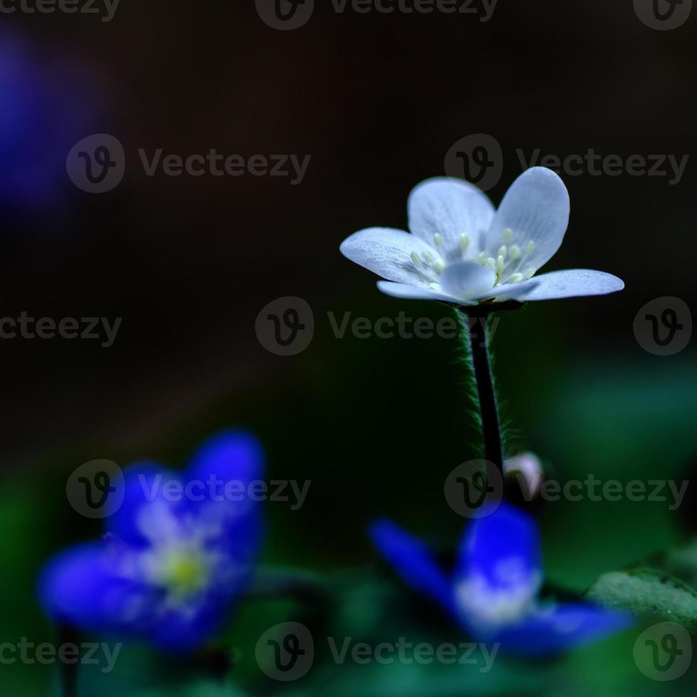 vit vanlig hepatica foto