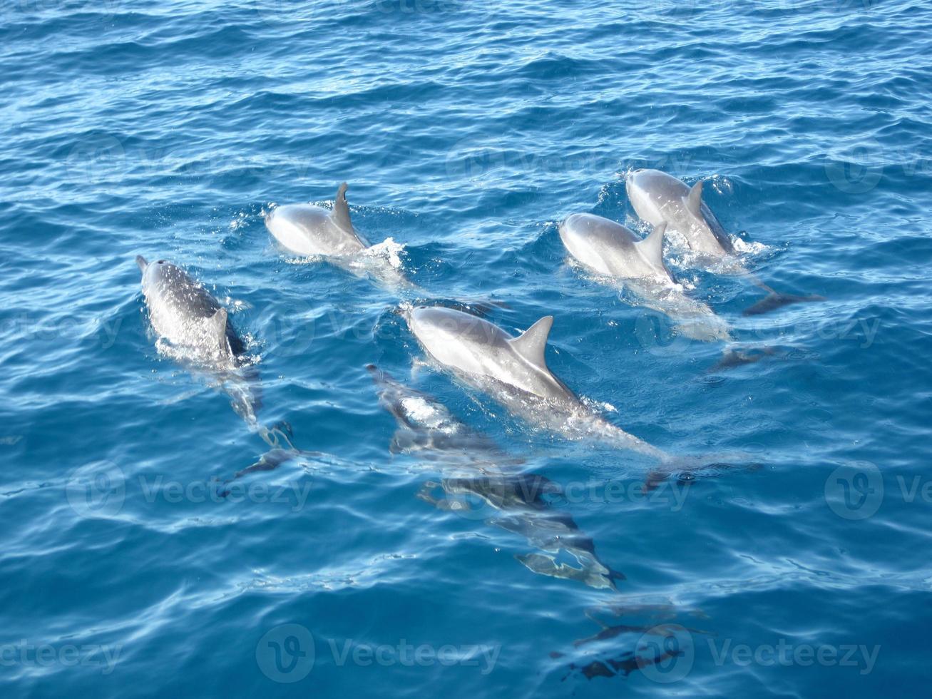 delfiner på hawaii foto