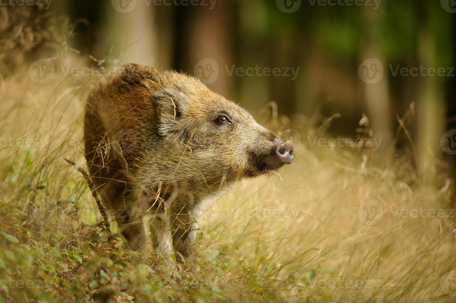 baby vildsvin i långt gult gräs som sniffar sidan foto