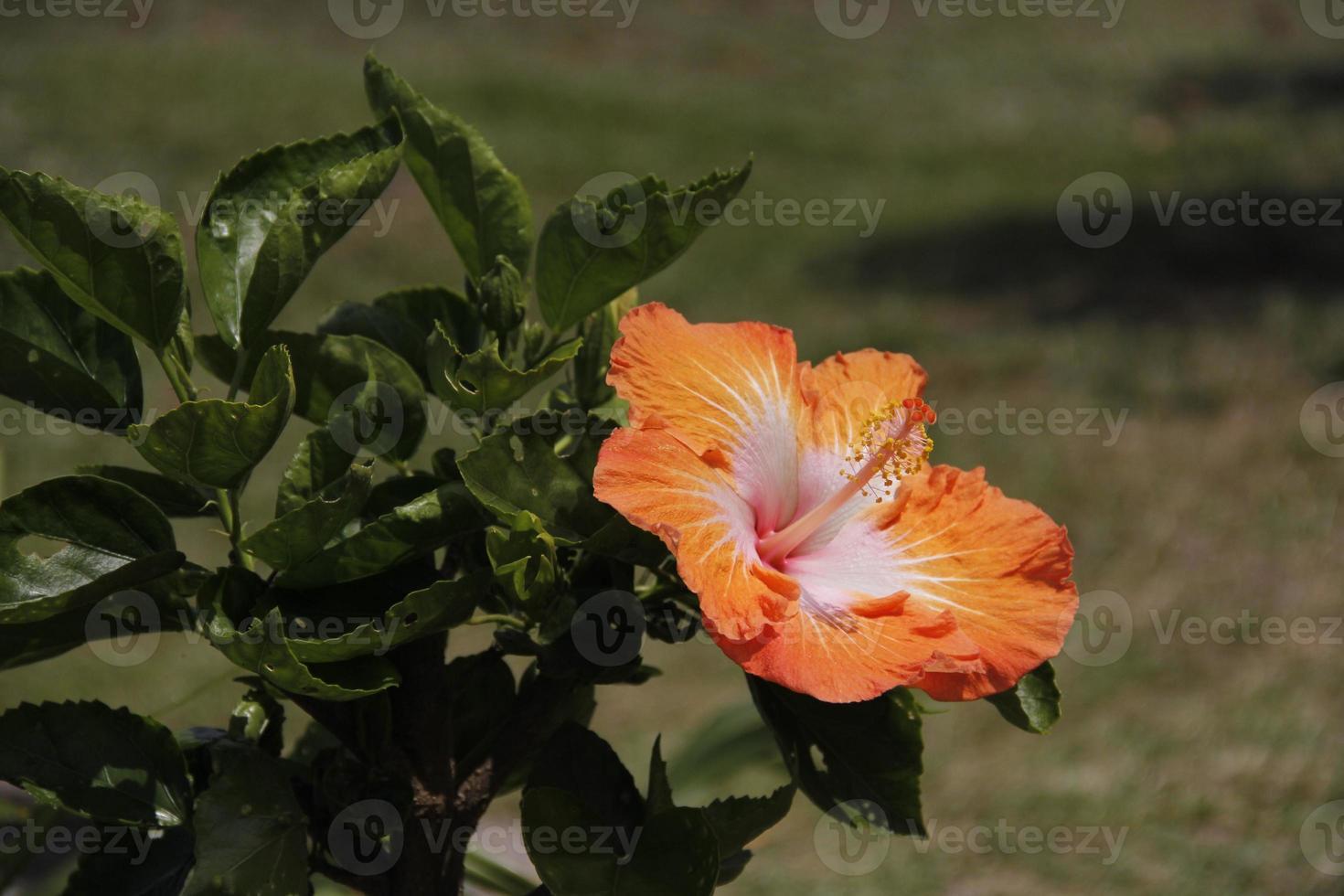 blommor, stor ö, hawaii foto