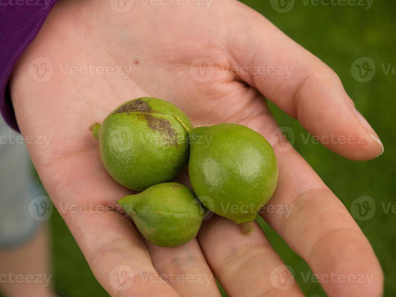 macadamianötter foto