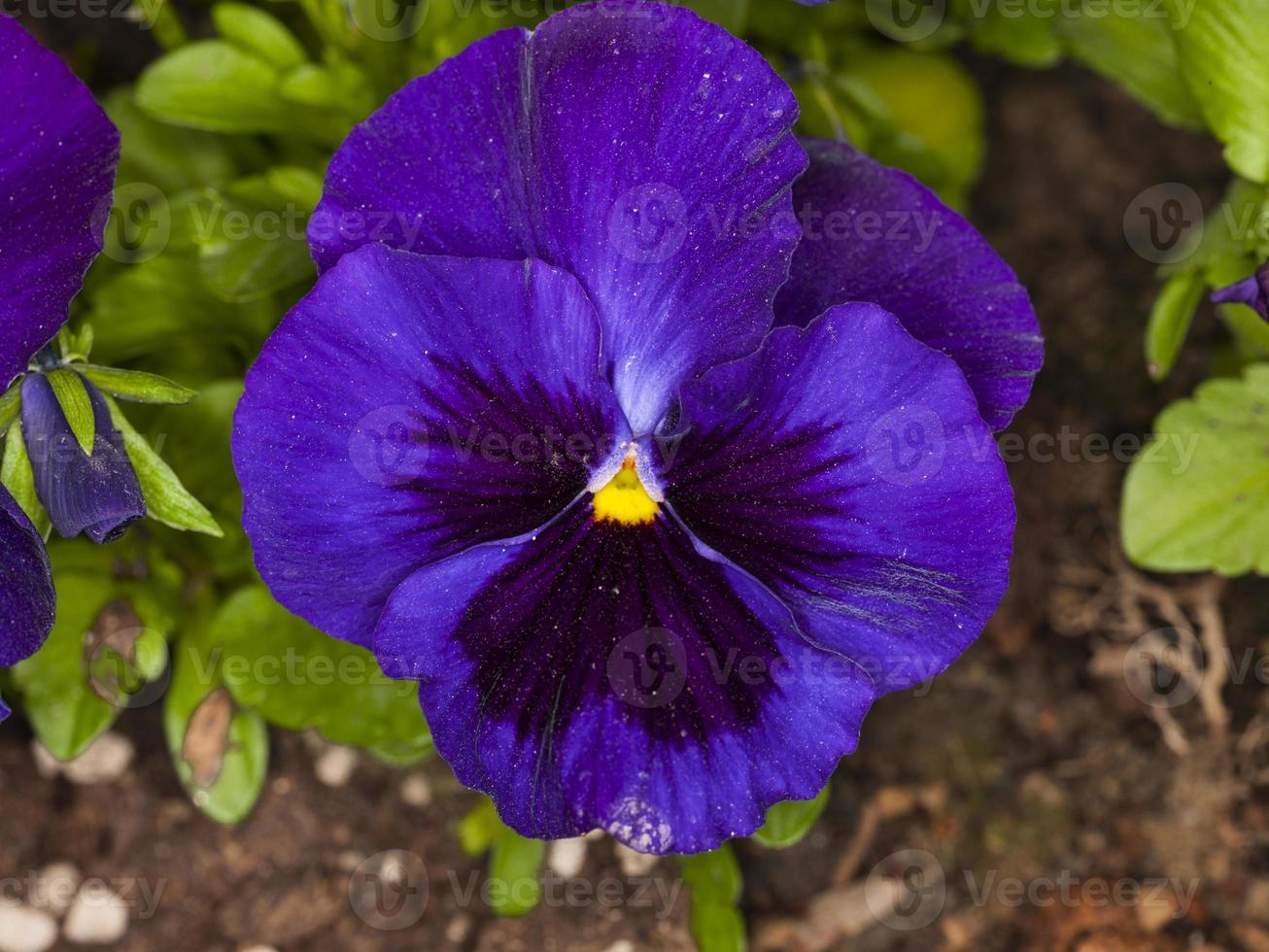viola tricolor (familj: violaceae) foto