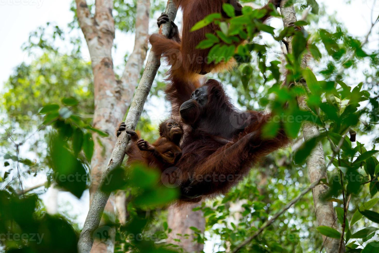 familjen orangutang. foto