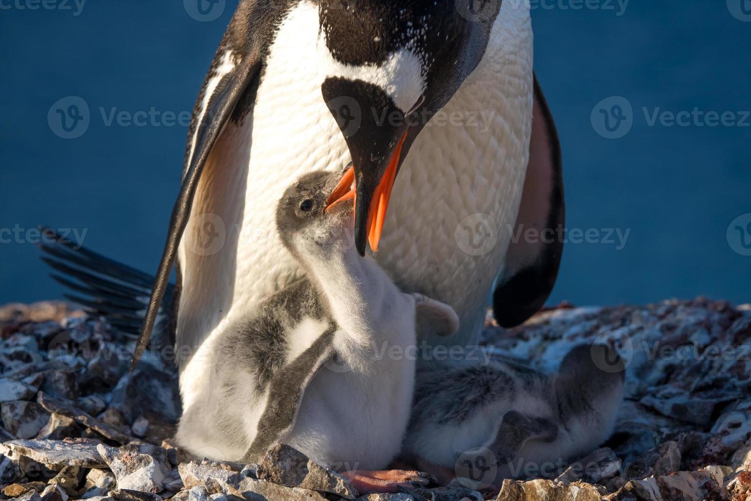 pingvinfamilj foto