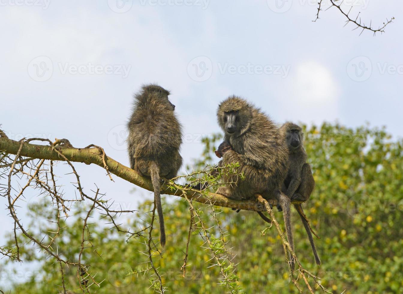 babian familj i ett träd foto