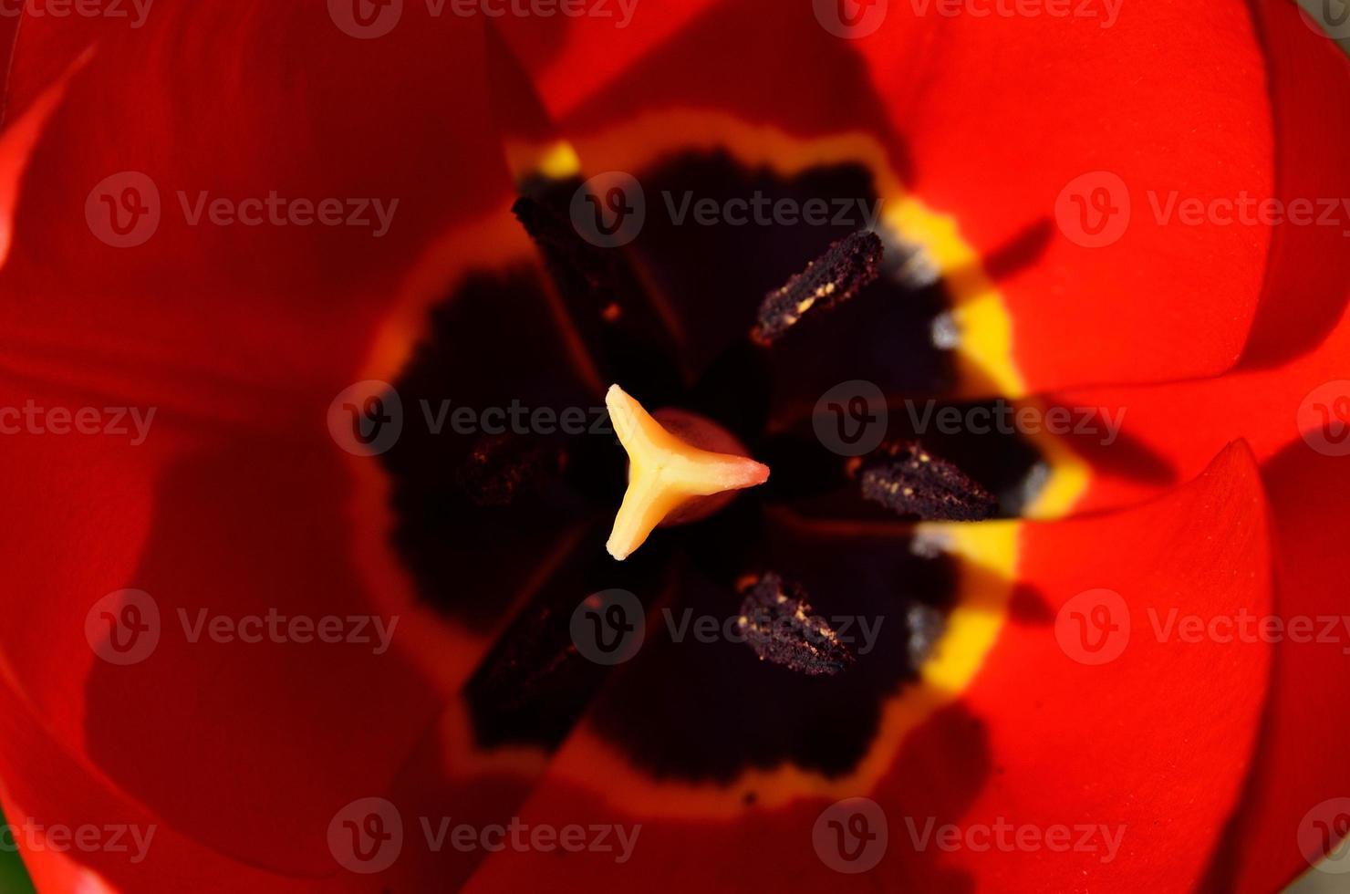 röda tulpan kronblad öppnade på våren foto